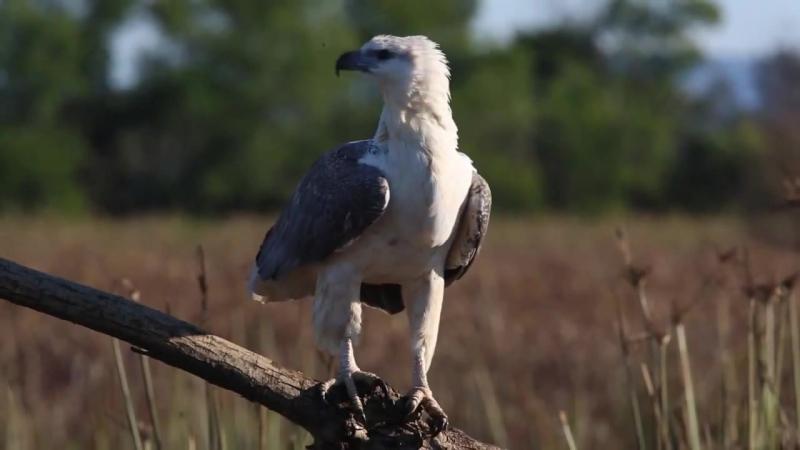 Белобрюхий орлан.