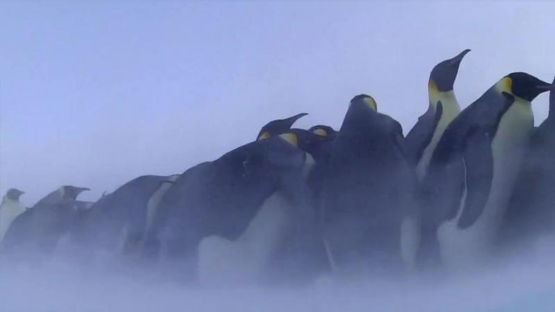 02-BBC. Пингвины. Шпион в стае. Первые шаги