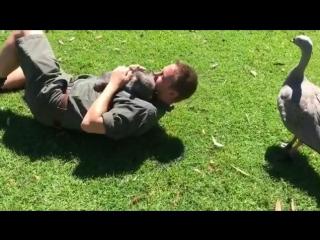 В Астралии, оказывается, можно приручить даже дикого вомбата! Прелестный малыш! Всем хороших выходных, ребята