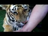 Реакция тигра на удаление больного зуба