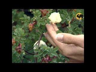 Розы в Саду. Серия 31. Дикие розы.