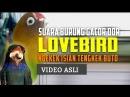 Lovebird Ngekek Isian Tengkek Buto Super Panjang