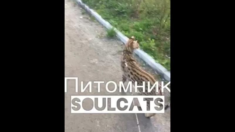 Очень эффектный кот Макс Саванна F1 из питомника SoulCats 🐾