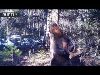 Диско Ферапонта_ так танцуют уральские медведи