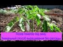 Посев томатов под зиму Уникальный способ выращивания без рассады Выпуск 198