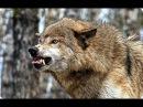 В поисках людоеда Жертвы волков \ Nat Geo WILD HD