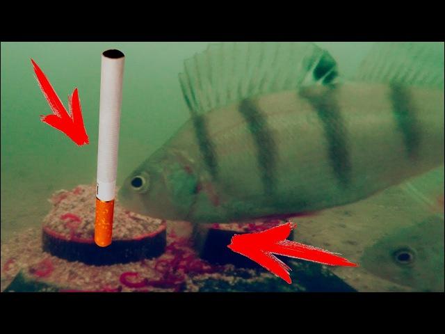 ЗАПАХ ТАБАКА и Реакция Рыбы! Подводная съёмка