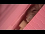 Шиншилла Гашиш ест и спит одновременно)) приколы с домашними животными