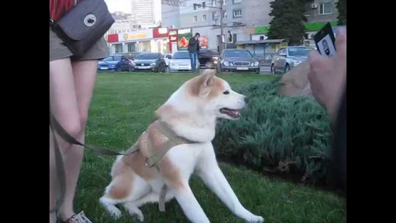 ^cute dog Akita inu (name : Cimi)