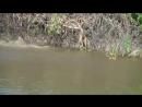 Ягуар охота на крокодила .....