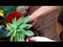 Succulent Loft Пересадка Эчеверии агавовидной