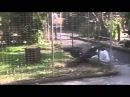 Орел схватил цаплю за клюв