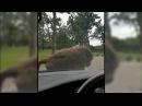 Baboons start Mating on Car Bonnet at Knowsley Safari Park