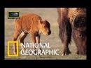 Бизоны против Волков. Древнее противостояние. Документальные фильмы National Geographic....