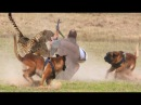 Extreme Trained Disciplined Malinois Dogs