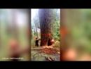 Валка большого дерева пошла не по плану