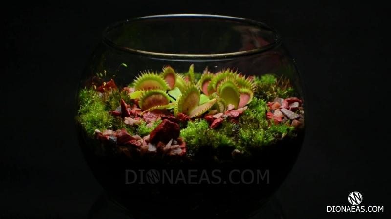 Флорариум венерина мухоловка хищное растение flytrap carnivorous plant дионея