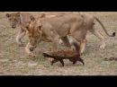 В мире животных. Росомаха. Медоед. Истинный боец. Самый свирепый охотник. Материн...