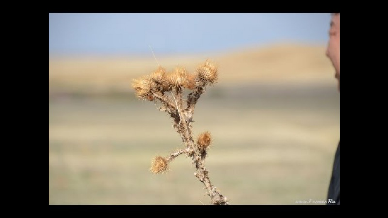 Верблюжья колючка (Степная Роза). Калмыцкая степь. Октябрь