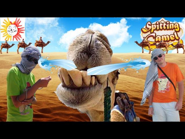 Игра плюющийся верблюд Или как нас верблюд облевал