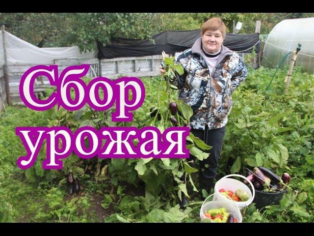 Урожай баклажанов и перца в открытом грунте. (28.09.16 г.)