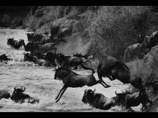 Сериал Великие миграции «Рождённые для путишествий»