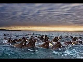 Сериал Великие миграции «Зов природы»