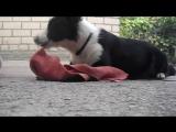 Когда пытаешься научить собаку милому трюку