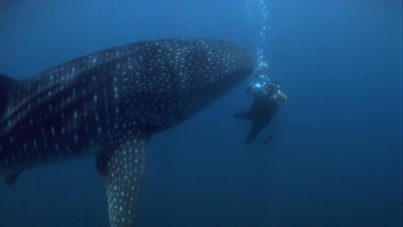 В поисках больших акул / Search for the Great Sharks (1995)