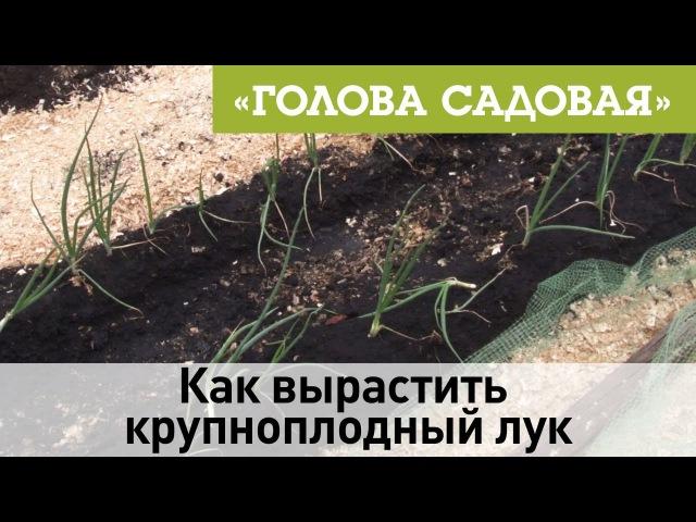 Голова садовая - Как вырастить крупноплодный лук