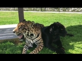 Black Jaguar, White Tiger Foundation,Matzu and  Cielo