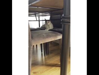 Cha cha🐈🐾🐾 #littlelion #kitten #47weeksold #babybo... Лондон 28.06.2017