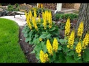 Бузульники для теневого сада