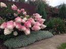 Самые морозостойкие цветущие кустарники