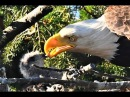Bald eagle defies nature by adopting, not eating, baby hawk