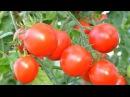 Секреты хорошего урожая помидор Выращивание томатов Дачные хитрости и советы