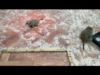КОРМИМ СУРИКАТОВ Мадагаскарскими жуками.