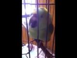 Попугай плачет