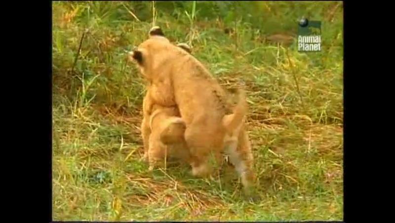 Дневник большой кошки Big Cat Diary сезон 2 серия 1 1998
