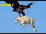 Most Amazing Wild Animals Attacks #45 Eagles Attack Dog ,Eagles VS Goat Eagles