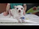 Хирургическое лечение вывиха надколенника у собаки породы чихуахуа