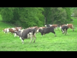 happy Cows Kuhrettung Rhein Berg english subtitles - vacas liberadas