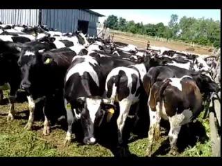 Истобенская молочная порода коров Племенной крупно рогатый скот продажа 896561700...
