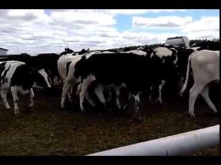 Голштинская молочная порода коров Племенные породы КРС продажа 8965617005 WhatsApp про...