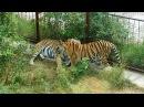 Пара тигров: Феликс и Фрося (любовные игры).