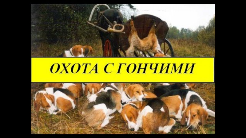 Охота с гончими!ХИТРОСТЬ фазана