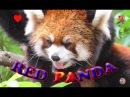 Красная панда - Москва, Московский Зоопарк ★ 超可愛小熊貓~~ 莫斯科,莫斯科動物園 ★ Red Panda - Moscow, Moscow Zoo