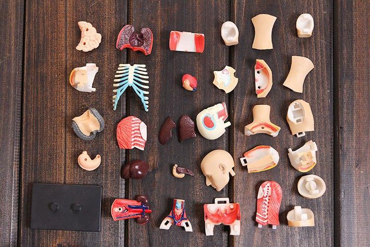 Сборная модель человеческого тела