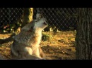 Mexican Wolves Howling - Cincinnati Zoo