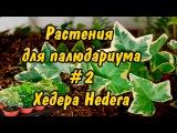 РАСТЕНИЯ ДЛЯ ПАЛЮДАРИУМА. #2. Хедера Плющ. PLANTS FOR PALUDARIUM. Hedera Helix